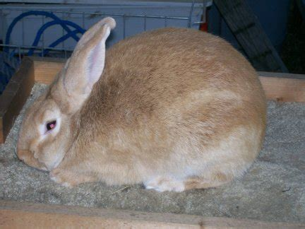 can rabbits see color palomino rabbit