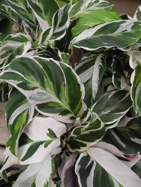Tanaman Calathea White Fushion Berkualitas 43 besten calathea bilder auf g 228 rtnern tropische pflanzen und landschaftsbau