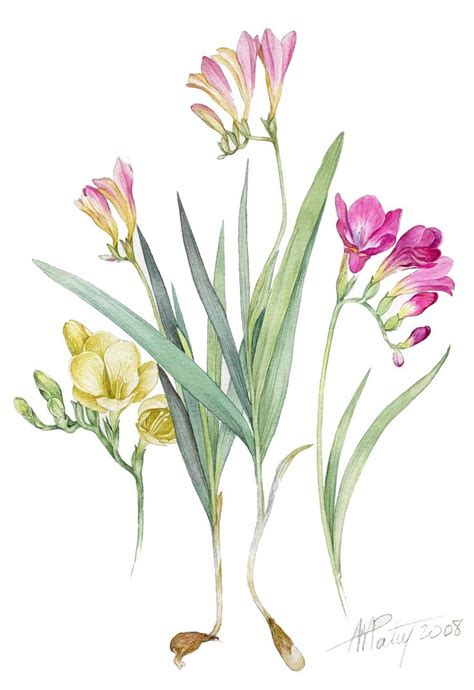 botanical painting in gouache 184994265x lovely watercolour art from anne marie patry belluteau botanical painting of freesia art