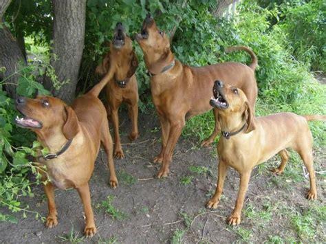 redbone hound redbone coonhound dogs