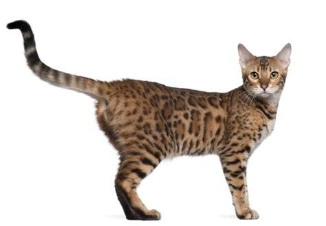 asian breeds asian cat breed