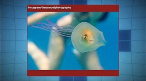 News Roundup Bushfires Jellyfish And Gorillas Attack by Wilson Chandler Reels In A 350 Pound Grouper Abc News