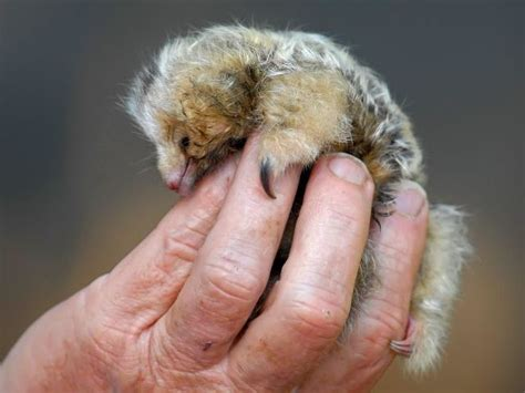pygmy anteater cyclopes didactylus mammals