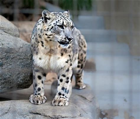 snow leopard san diego zoo: cross_: galleries: digital
