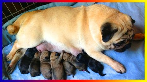 pug giving birth pug breeds giving birth and seven puppies