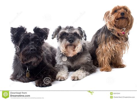 how many types of yorkies are there types of wire haired dogs breeds picture