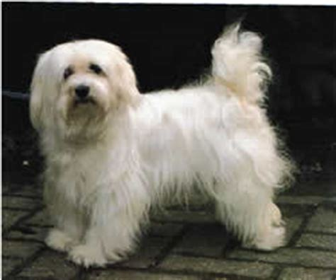 havanese lifespan species dogs