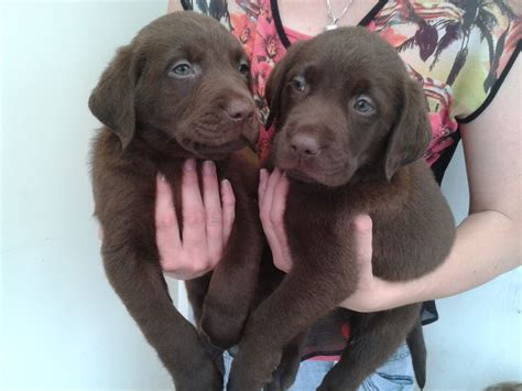 pictures of chocolate lab puppies chocolate labrador retriever doncaster south pets4homes