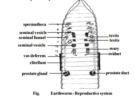 earthworm dissection alternative assignment earthworm reproductive system study material lecturing