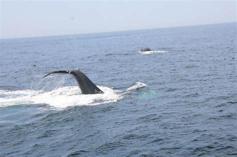 whale season cape cod whale cape cod ma the commonwealth of