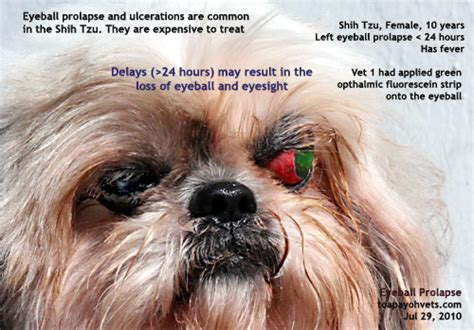 shih tzu eye ulcer 1221singapore veterinary education sponsored by singapore real estate rental houses