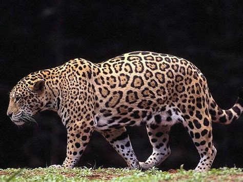 animal posters free jaguar poster collection