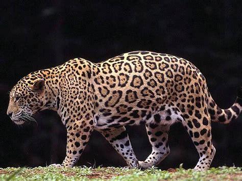 animal free wallpapers animal jaguar free wallpapers
