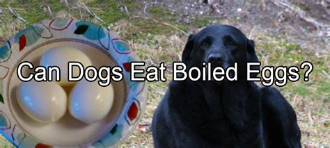 how should you boil dogs eggs pethority dogs
