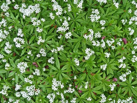 sweet woodruff care how to grow sweet woodruff ground cover