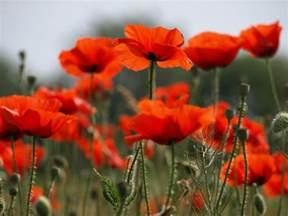 poppy flowers photo 22283920 fanpop