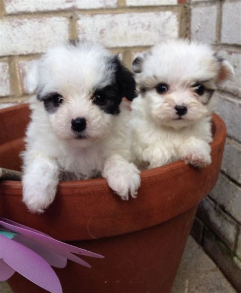 bichon havanese dogs bichon havanese puppies for sale uk breeds picture