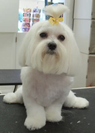 how to give my maltese yorky a haircut mod dog boca grooming pictures