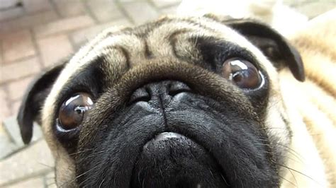 where to find pugs grumpy pug