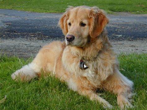 site golden retriever nos infos race chien golden retriever