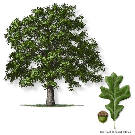 oak tree woodworking 25 best ideas about oak tree bark on tree