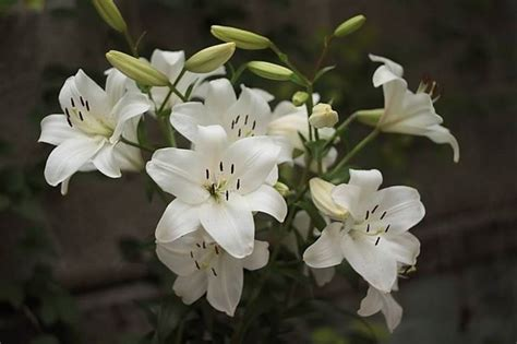 lilium in vaso giglio lilium lilium bulbi giglio lilium bulbi
