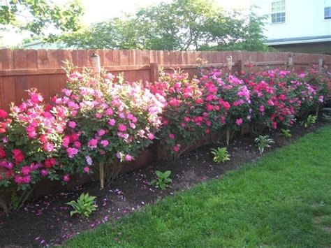 Landscape Pictures With Knockout Roses Pink Knockout Roses Landscape Backyard Ideas