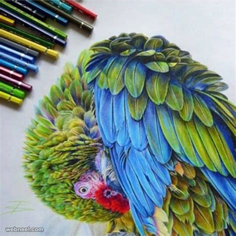 color drawings parrot colour pencil drawing www pixshark images