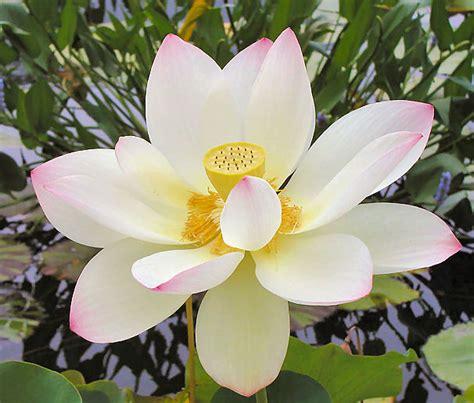 lotus flower number of petals the lotus flower