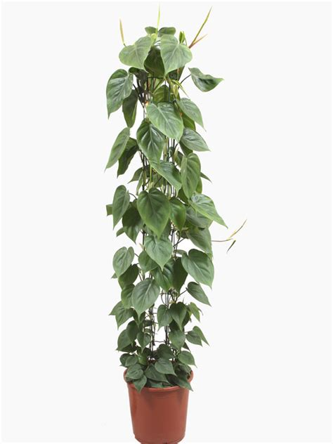 indoor plants uk philodendron scandens leaf plant for sale