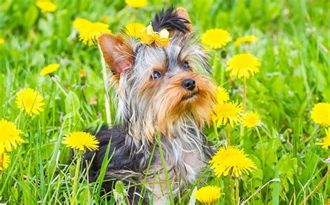 puppy names for yorkies yorkie names 100 sweet sassy ideas my s name