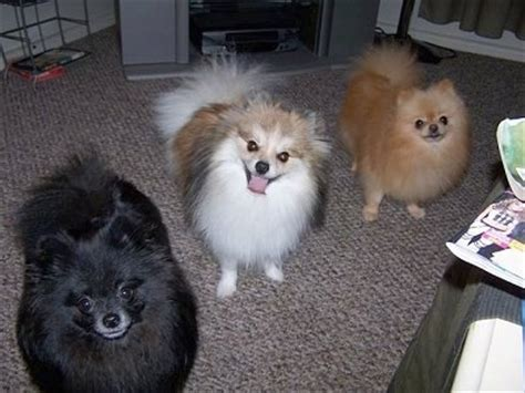 meaning of pomeranian pomeranian breed information and pictures