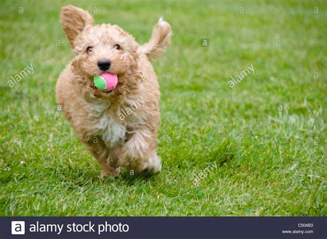 mini doodle balls a happy labradoodle puppy runs toward the with