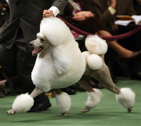 show dogs westminster show betting guide which dogs are most likely to win best in show