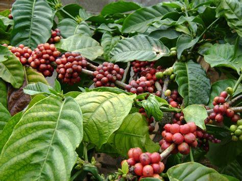 perkebunan kopi galoer permai