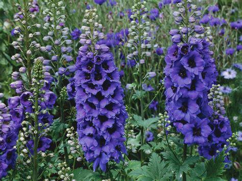 delphinium flower of the day hgtv
