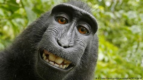 peta sues photographer david slater to try and get a peta and photographer david slater settle monkey selfie
