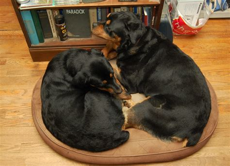 rottweiler breathing heavy living with rottweilers on a bed