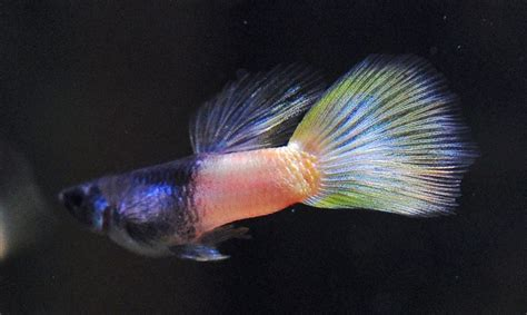Lu Neon Aquascape 236 best guppies images on guppy fishing and