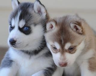 puppies for sale albuquerque outstanding siberian husky puppies albuquerque for sale albuquerque pets dogs
