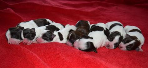puppies for sale in maine akc chocolate puppies for sale in maine maine