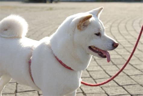shiba inu colors what colors are shiba inu dogs