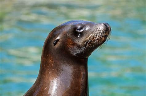 imagenes de animales jpeg close up of sea lion at beach 183 free stock photo