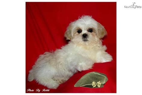 teacup shih tzu puppies for sale in dallas one response to teacup shih tzu puppies for sale breeds picture