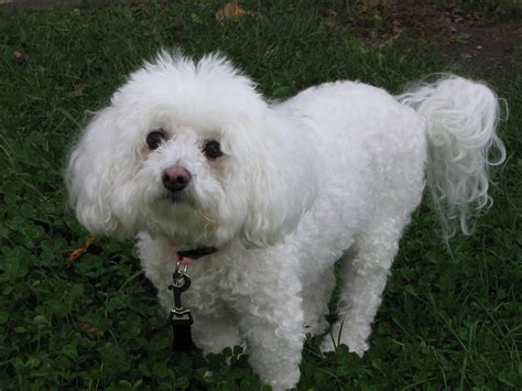 how often do yorkie poos need to be grooming bichon frise puppies breed information pictures