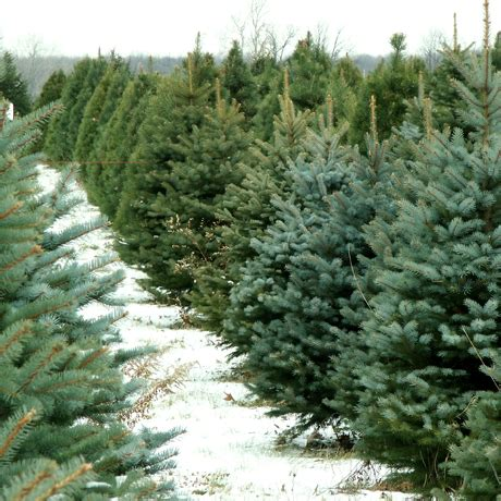 guide where to find the perfect christmas tree in boston