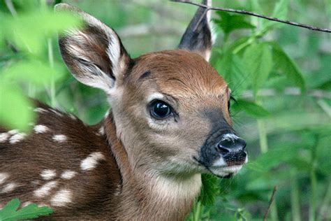 fawn images fast facts about fawns from the field