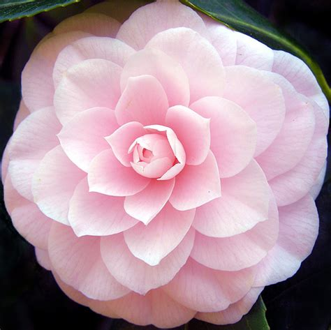 romantic flowers camellia flower