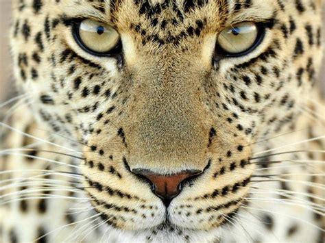 imagenes para fondo de pantalla leopardos cara del leopardo fondos de pantalla gratis