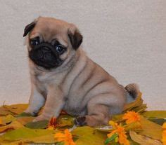 teacup pug puppies for sale in scotland pugs on pug puppies for sale pug and puppies for sale